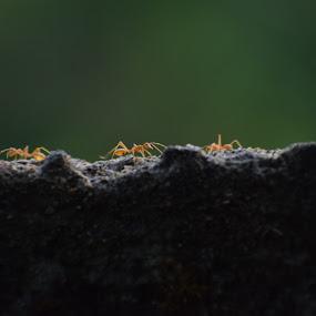 3 ants by Rahul Manoj - Novices Only Macro ( orange, green, rock, ants, black )