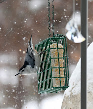 Photo: ...a white-breasted nuthatch