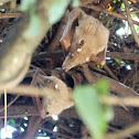 Whalberg's Epauletted Fruit Bat