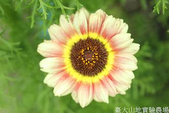 Photo: 拍攝地點: 梅峰-溫帶花卉區 拍攝植物: 花環菊 拍攝日期: 2015_11_13_FY