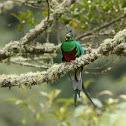 Mesoamerican Quetzal (eating)