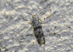 Photo: Scythropia crataegella  Lepidoptera > Yponomeutidae