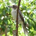 Grey Butcherbird (juvenile)