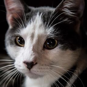 Relax by Matthew Westfall - Animals - Cats Portraits