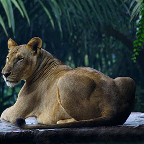 Lion Back Pose by Awaludin Aw - Animals Other