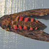 Pink-spotted Hawkmoth