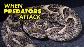 When Predators Attack thumbnail