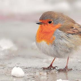 Cute robin by Ion Alexandra - Animals Birds ( robin, erithacus rublecula, species from romania, snow, birds in bucharest, tiny bird, winter birds in romania,  )