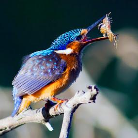 Immature Malachite kingfisher  by Louis Groenewald - Animals Birds