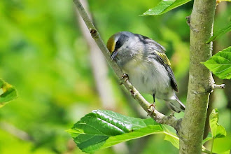 Photo: Golden-winged Warbler