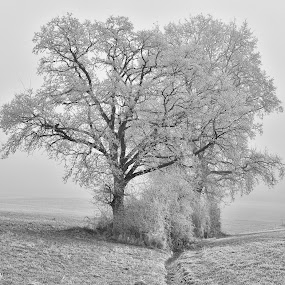 Winter ! by Marco Bertamé - Black & White Landscapes ( winter, tree, cold, white, morning, hoarfrost,  )