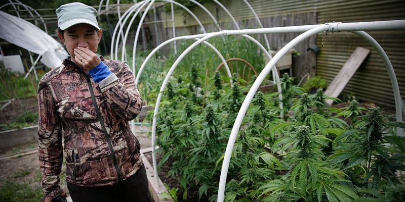 California's small cannabis farms are facing the end of an era