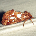 Silver-spotted Fern Moth