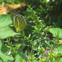 Lesser Gull Butterfly