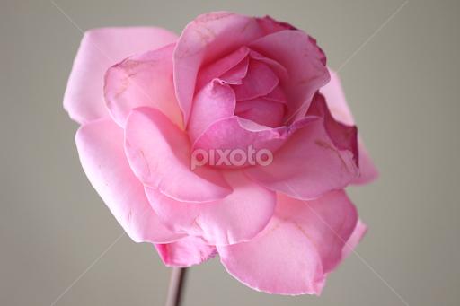 Single pink rose single flower flowers pixoto single pink rose by madiha achmad flowers single flower beautiful flower rose mightylinksfo
