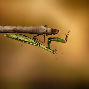 by Vukosava Radenovic - Animals Insects & Spiders (  )