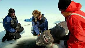 Greenland Shark Quest thumbnail