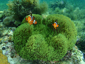 Photo: Stichodactyla gigantea (Green Carpet  Anemone) - Amphiprion ocellaris (Ocellaris Clownfish) - In about 1 m (3 ft) of water.Siquijor Island, Philippines