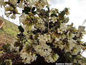 Photo: Trombeta de Arauto Branca ( Beaumontia grandiflora )