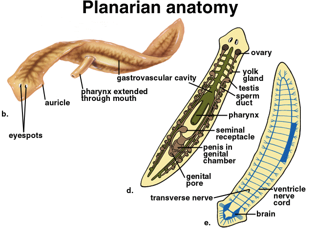 Moderno Anatomía De La Planaria Ilustración - Anatomía de Las ...