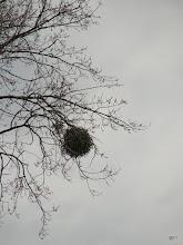 Photo: Maretak oftewel Mistletoe