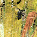 Japanese darkling beetle Plesiophthalmus nigrocyaneus