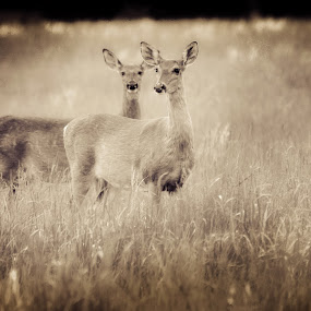 Sepia Does in Field by Virginia Folkman - Animals Other Mammals ( does, animals, landscape, photography, deer )