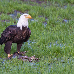 Dinner For One by Craig Pifer - Animals Birds ( oregon, bird of prey, nature, bald eagle, birds )