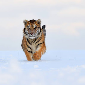 Siberian tiger (Panthera tigris altaica) by Bencik Juraj - Animals Lions, Tigers & Big Cats