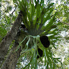 Staghorn Fern (epiphyte)