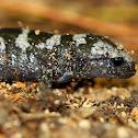 Marbled Salamanders