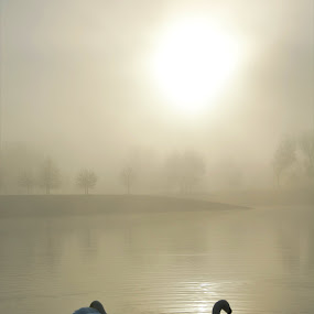 Swans in misty morning by Marin Mavra - Landscapes Waterscapes ( calm, swans, calmness, lake, beauty, beauty in nature, morning, landscape, birds, winter, serene, landscape photography, surreal, misty, mist )