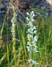 Photo: Bog Orchid, blooming later than usual on the well-shaded southern shore of the lake.