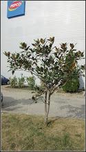 Photo: Magnolia grandiflora - din Piata 1 Decembrie 1918, spatiu verde - 2018.10.19