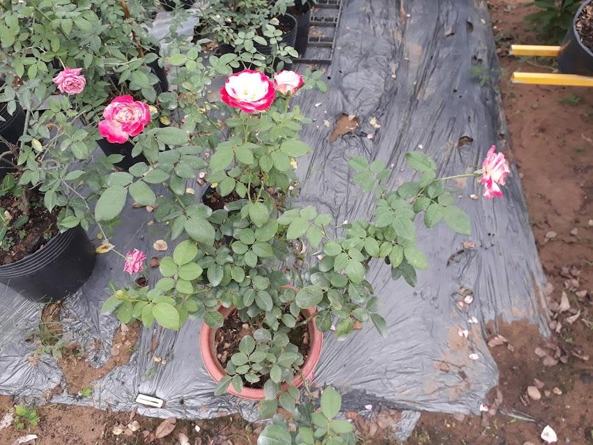 Các bông hồng Double Delight còn lại của chậu hoa bắt đầu nở