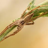 Spider di
