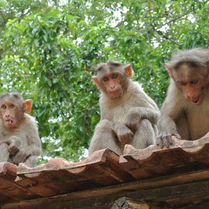Monkeys in India | Krys Kolumbus Travel