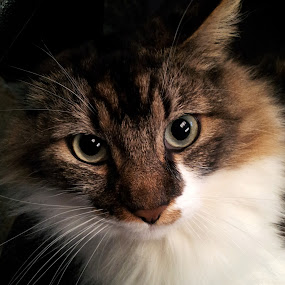 Ollie by Tom Carson - Animals - Cats Portraits ( cat, maine coon, whiskers, handsome, eyes )