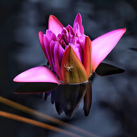 Water lily with reflection  by Margie Troyer - Flowers Single Flower (  )