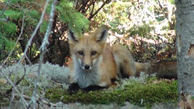 Photo: Ahnee Wagosh maandaya  Hello Fox - I'm here