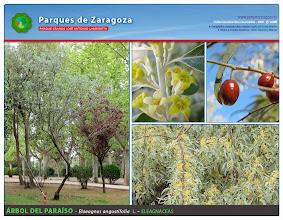 Photo: Árbol del Paraíso
