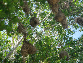Photo: Weaver bird nests
