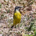 Spanish Yellow Wagtail; Lavandera Boyera