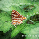 Common Silverline