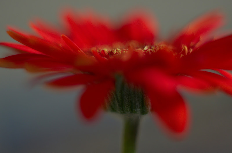 Photo: Irresistible in Red ~ Project 365/366 ~ One shot a day ~ #184 Hi new followers! :) For: #G+365Project #365project #creative366project #365group #project365