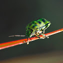 Asian Jewell bug, or Shield bug