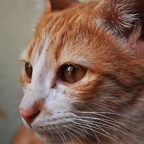 by Sudheer Hegde - Animals - Cats Portraits ( cat, white, nikon, eye )