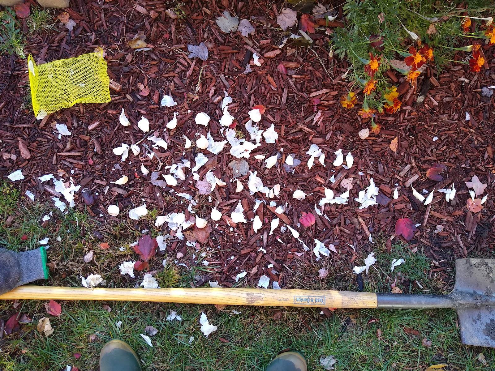 planting garlic image