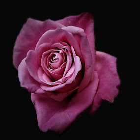 Rose by Mary Gallo - Flowers Single Flower ( pink rose, nature, single flower, nature up close, rose, flower,  )