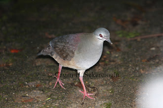 Photo: Purplish-backed Quail-dove